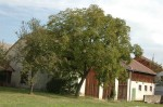 Nußbaum in Wielandsberg