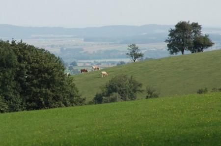 Ferne Kühe am Kuhberg