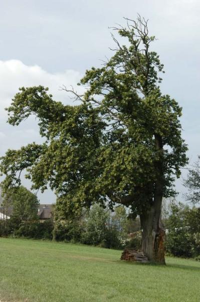 Toskana-Feeling beim Naturdenkmal Maronibaum