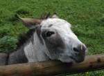 Dieser Esel mochte mich und folgte mir den Zaun entlang