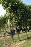 Interessant - die meisten Weintrauben hingen meist ganz unten