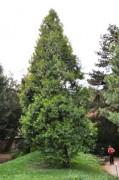 Diese Weihrauchzeder haben wir im Botanischen Garten gesehen und als Kleinausgabe in unseren Garten gepflanzt