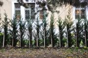Die Nachbarn pflanzen Scheinzypressen an die Grenze zum Botanischen Garten
