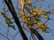 Schwarznuß - letzte Blätter und Früchte am Baum