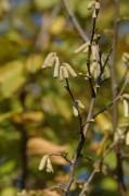 Die Haselsträucher mit den Würstchen fürs nächste Frühjahr