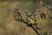 Noch kaum die Blätter verloren haben die Dirndlsträucher bereits dicke Knospen