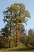 Eiche und Maronibaum - in einander verwachsen