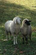 Die Schafe etwas abseits des Weges machten sich durch lautes Blöken bemerkbar, das sie sofort einstellten als wir vor ihnen standen