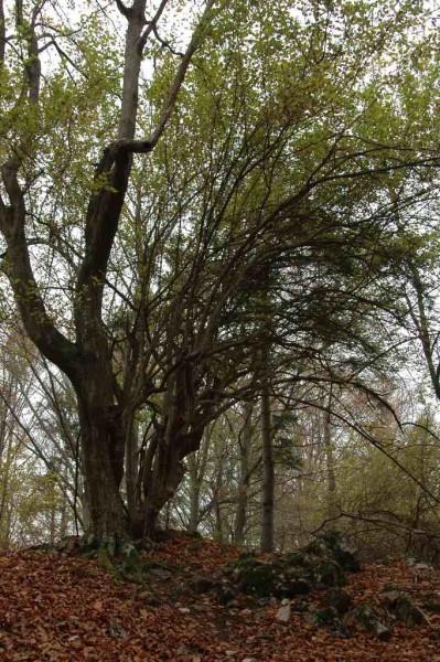 Mitten im Wald gab´s eine ganze Reihe uralter Dirndlstauden (vielleicht älter als der Wald)