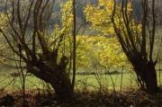 Leuchtend gelber Feldahorn