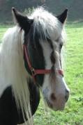 Man beachte den Gummiringerl-Zopf dieses liebevoll gepflegten Pferdes