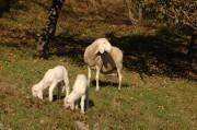 Schafe in Schrattenbach