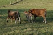 Kühe am Rückweg zwischen Schrattenbach und Greith