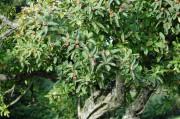 Die Früchte weden jetzt (im November) zu ernten sein. Ich finde, Asperl schmecken säuerlich und wie alte Äpfel, supergut. Allerdings haben sie wenig mehlig-weiches Fruchtfleisch und viele Kerne !