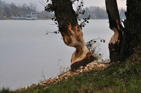 Biber-Fraßspuren. Viele Bäume sahen so gefährlich abgenagt aus.