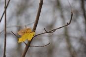 Ein einsames Ahornblatt