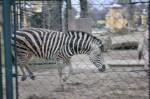 Die Zebras tollten, frisch aus dem Stall, im Freien herum