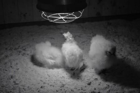 Unser Besuch im Tiergarten endete wieder bei den Hühnern