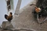 Der Tiergartenbesuch begann bei den Hühnern (Veronikas Lieblingstieren)