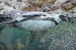 Unterwasseraufnahme bei den Pinguinen