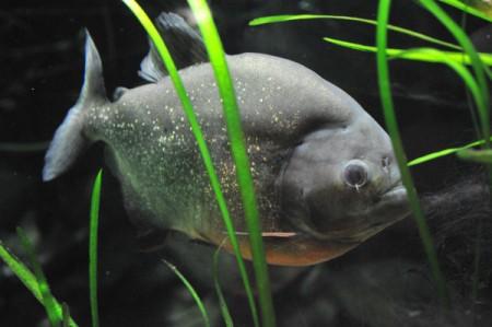 Auge in Auge mit einem Piranha