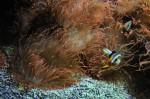 In diesen Anemonen spielten Fische Verstecken