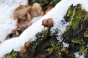 Kleine Boviste auf einem vermoderten Baumstamm am Weg