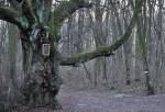 Eine uralte Linde im Wald bei Leobendorf