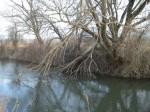 Beispiel der Bäume am Schwechatufer - von Biberfraß keine Spur