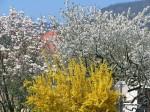 Magnolie, Forsythie, und noch was weißes (vielleicht eh Marille)