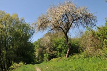 Ein blühender Apfelbaum