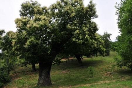 Blühende Maronibäume