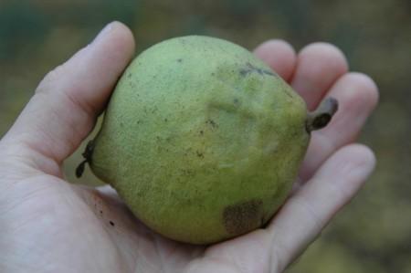 Früchte der Schwarznuß
