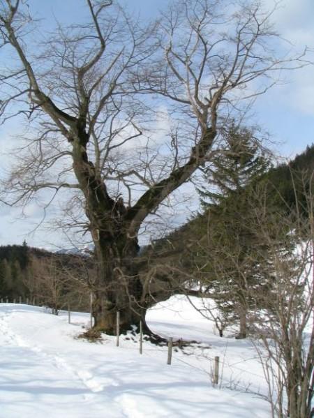 Ein dicker, knorriger, alter Baum