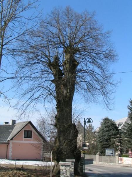 Ein dicker, knorriger Baum