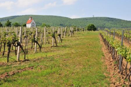 Heiliger Urbanus schütze unseren Weinbau, gemeint ist der Traiskirchner