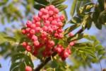 bb-ebereschenfruchte-web