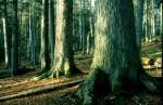 bb-lahnsattler-urwald-baumriesen-web