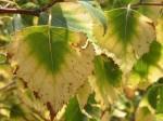 """Birkenblätter in """"Herbstfachon"""""""