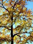 Rotbuchen in schönster Herbstfärbung