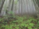 Hochwald im Nebel