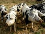 Frei laufende Schweine bei Nikitsch