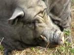 Der Chef der Schweineherde, ein unglaublich runzliger Eber