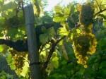Verlockung im Weingarten