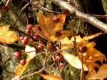 Elsbeerfrüchte und Herbstblätter