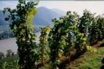 Stockkultur des Weingutes Prager-Bodenstein