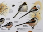 vogelbluch-schwanzmeisen-web