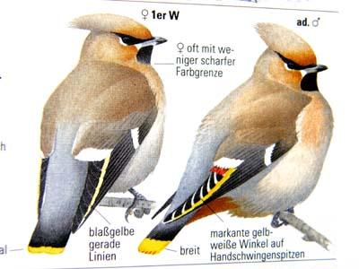 vogelbuch-seidenschwanz-web