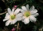 bb-anemonen-schmuckblume-web