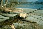 Biberbäume am Donauufer